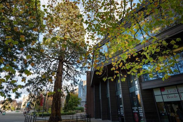The pair of Giant Redwood trees outside the Boole Library that are over 150 years old. Photo: Tomas Tyner, UCC.