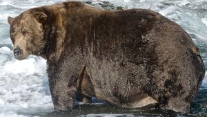 Winner of 'fattest bear' competition crowned ahead of hibernation season