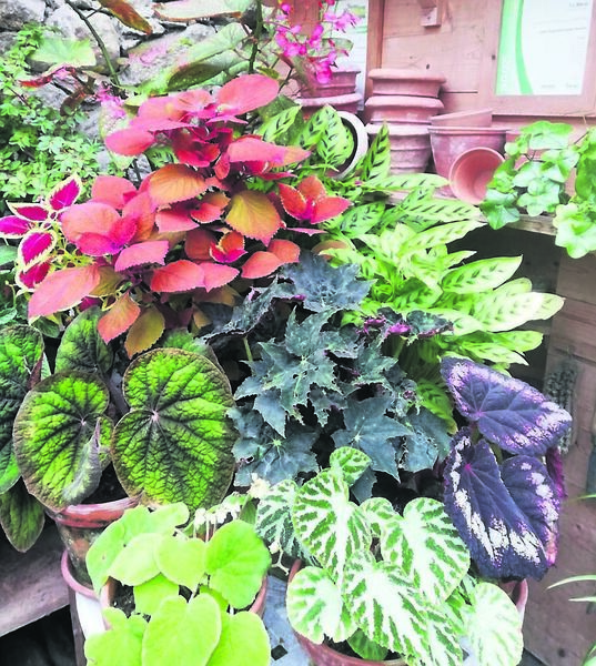 Stunning foliage arrangement in terracotta pots at Patthana gardens last week. Begonia and coeleus providing a great display.