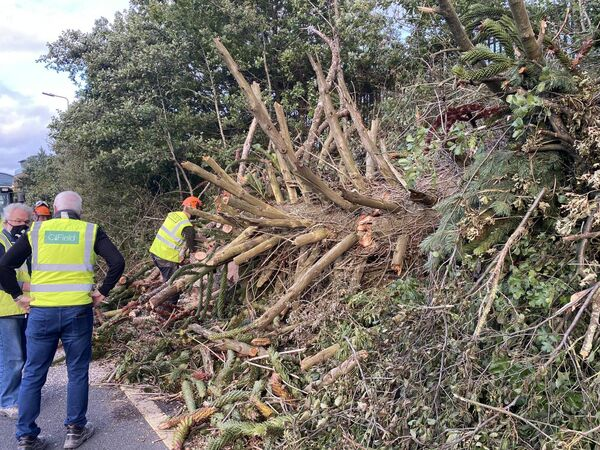 The Monkey Puzzle Tree being secured for distribution. Pic: Peter Horgan