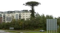 Public can now request a piece of Mahon's iconic Monkey Puzzle tree