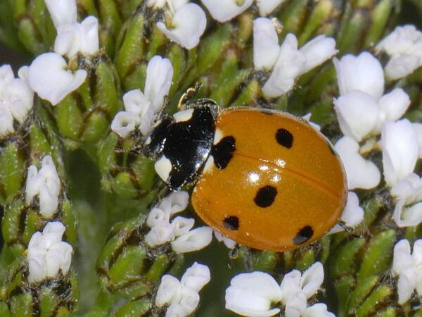 The Irish Ladybird Research Project is based at Fota Wildlife Park and School of Biological, Earth and Environmental Sciences with the project scholar, Gill Weyman.