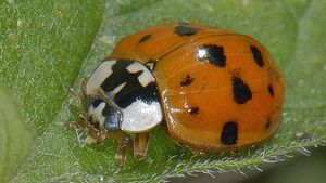 Fota Wildlife Park asks Cork public to record ladybird sightings
