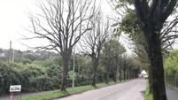 Iconic trees along Cork's Centre Park Road to be felled