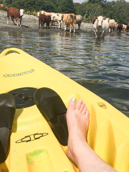 Cattle watched Cammy in bemusement like a 'welcoming committee' as she kayaked past them on the Bantry Blueway. Pictures: Cammy Harley