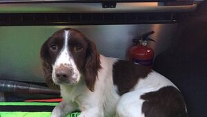 Stolen dog found in Limerick may belong to Cork owner