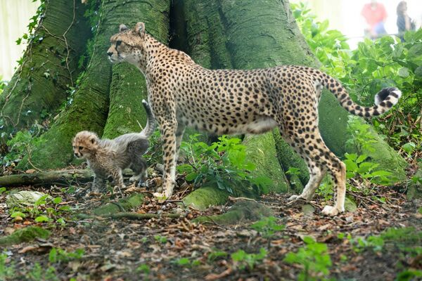 Mother Nimpy with one of her three new endangered Northern cheetah cubs. Picture: Darragh Kane