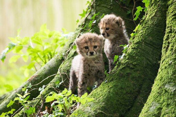 Two of the three new endangered Northern cheetah cubs born in June. Picture: Darragh Kane