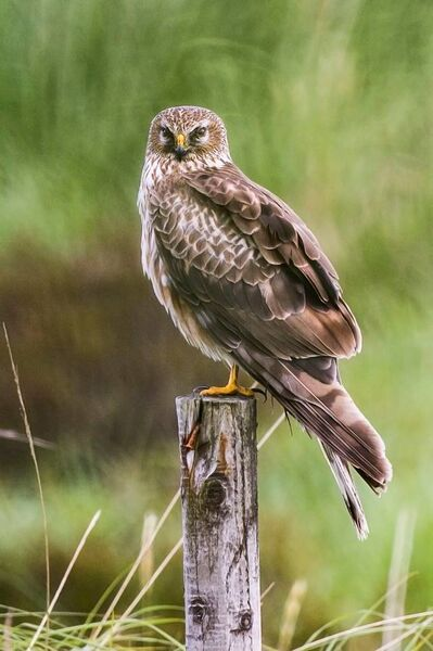 Female Hen Harrier. Picture: Mike Brown.