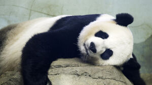 Panda gives birth at Washington zoo