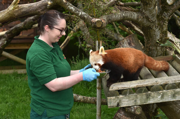 Clare Looney feeding this Red or Lesser Panda named Bonnie at Fota Wildlife Park, Cork, which opened to the public this week. Picture Dan Linehan