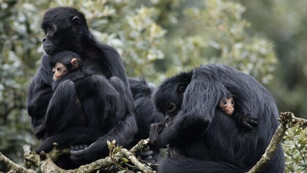 Two baby Spider Monkeys with their mothers in Fota Wildlife Park.Photo Darragh Kane