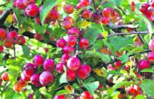 Crab apples were Chieftain Trees.