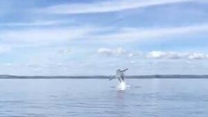 Watch: Spectacular footage shows whale fully breaching out of the water in West Cork
