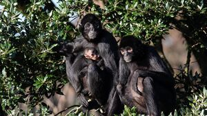 Batty and Norma give birth to two cheeky little monkeys; Fota announces new arrivals
