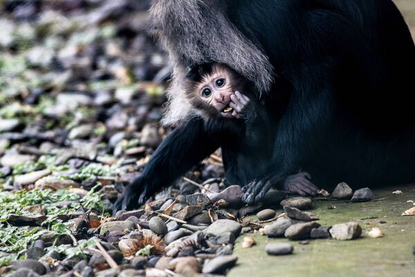 Fota Wildlife Park is asking the public to help name the two new male baby Lion-tailed Macaques. Pic Darragh Kane