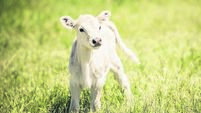 White Charolaise calf standing in green grassy meadow