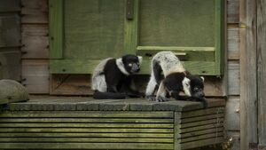 Fota announces birth of critically endangered Black and White Ruffed lemurs