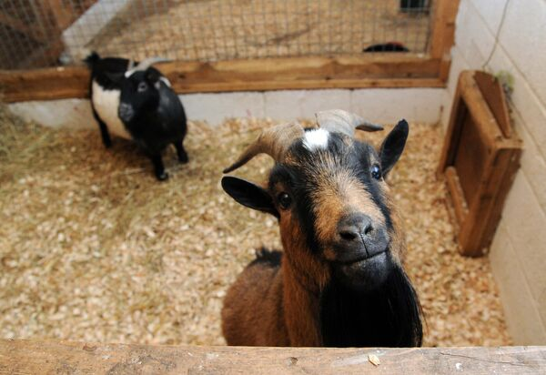 Roscoe and Panda, two pygmy goats, at the Care Farm near Castlemartyr, Co. Cork.Picture Denis Minihane.