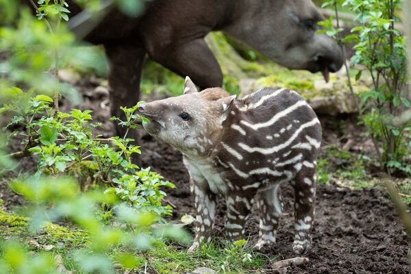 The birth brings the Tapir group to six at the South American habitat in the County Cork Wildlife Park.