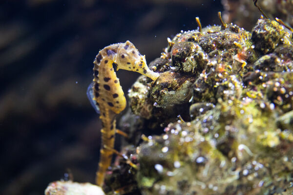 The 12 Pot-bellied seahorses are made up of seven males and five females, and this is the first time seahorses have lived at Fota. Pic: Darragh Kane