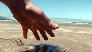 Lifeguards treat 11 for jellyfish stings