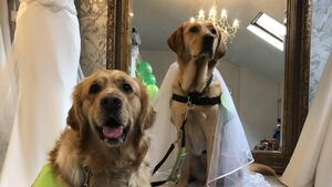 Here comes the labrador! Tail of love as Ozzie and Jodie to wed