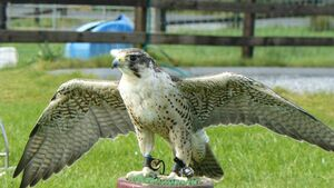 Escaped falcon finds Cork to his liking