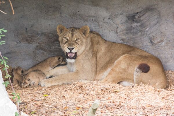 Fota Wildlife Park's Asian lionesses with her litter of cubs born recently. Picture Darragh Kane
