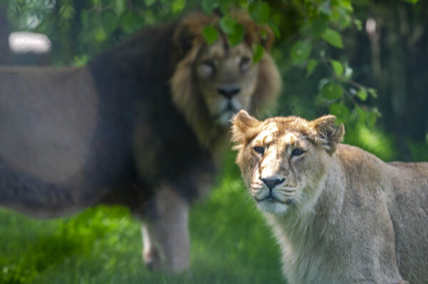 A lion and Lionesss at Fota Wildlife Park, Co. Cork