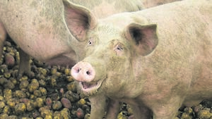John Arnold: A different Christmas... but at least the pigs will be happy!