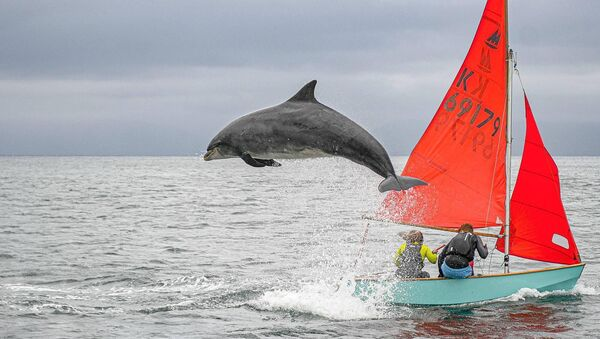 Fungie the Dingle dolphin. Picture: Graham Murphy