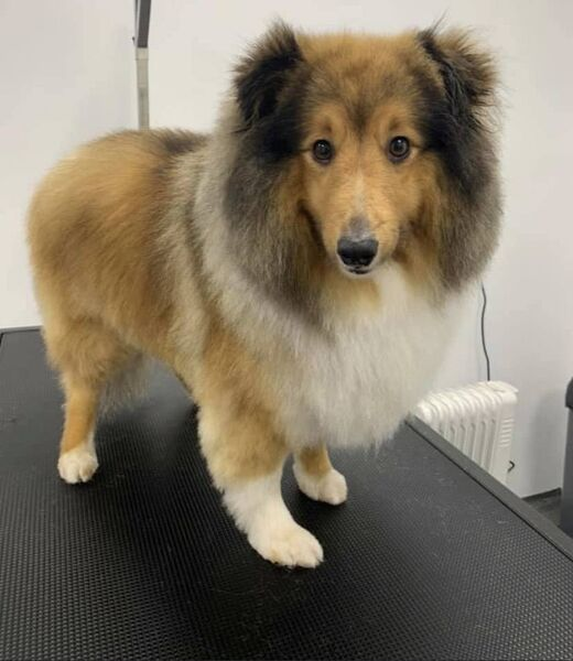 Milo Sheltie after being pampered at Katie's Pretty Paws.