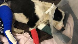 Donations give collie Glen new lease of life after two broken legs