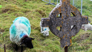 WATCH: Cork graveyard kept in 'sheep-shape' thanks to new arrivals