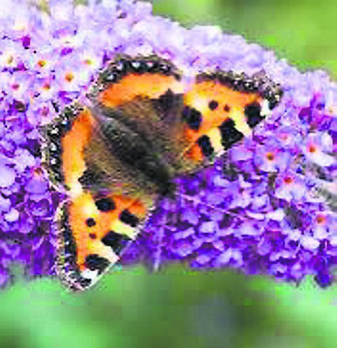 The flowers of buddleja allow easy access to pollen and nectar