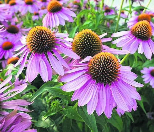 Echinacea flowers are great for pollinators in the garden