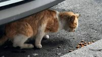 'It's just downright cruel': Animal charity worker 'shocked' after cat shot in Cork town